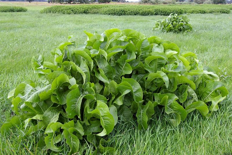 как использовать листья хрена при остеохондрозе